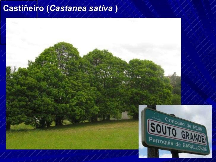 Castiñeiro ( Castanea sativa  )