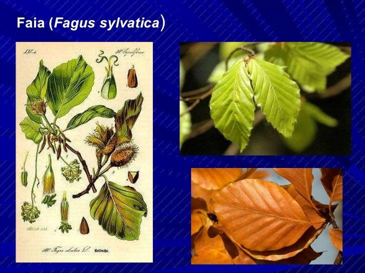 Faia ( Fagus sylvatica )
