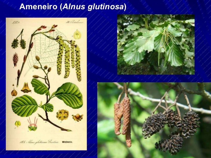 Ameneiro ( Alnus glutinosa )