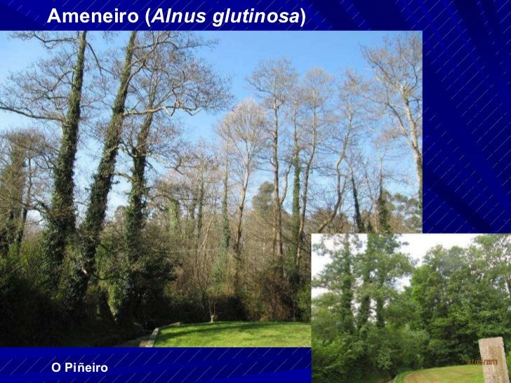 Ameneiro ( Alnus glutinosa ) O Piñeiro