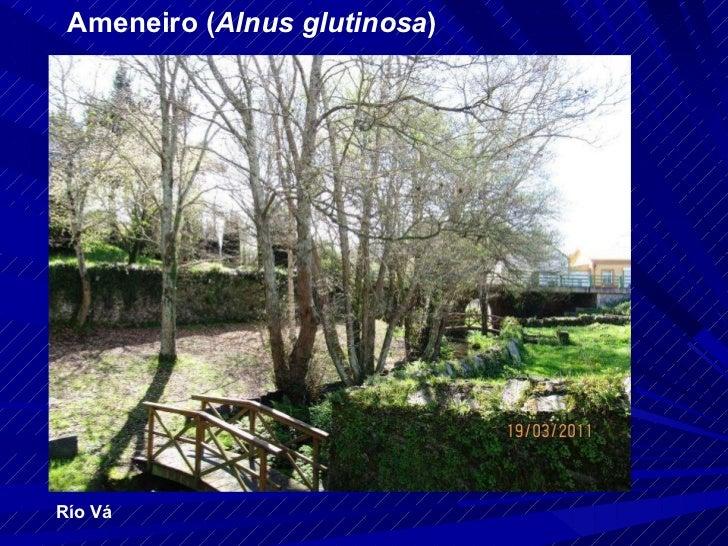 Ameneiro ( Alnus glutinosa ) Río Vá