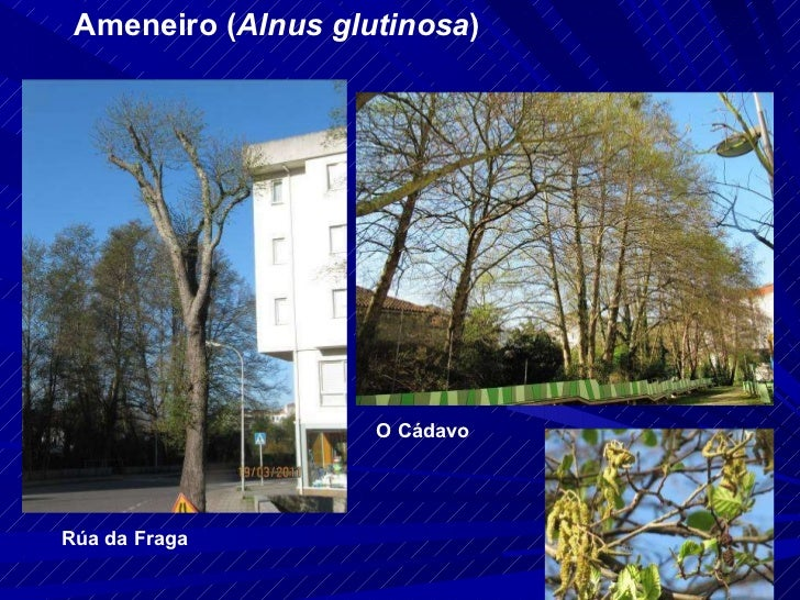 Ameneiro ( Alnus glutinosa ) Rúa da Fraga O Cádavo