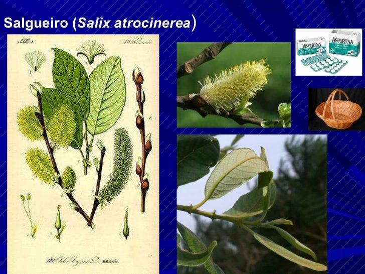 Salgueiro ( Salix atrocinerea )