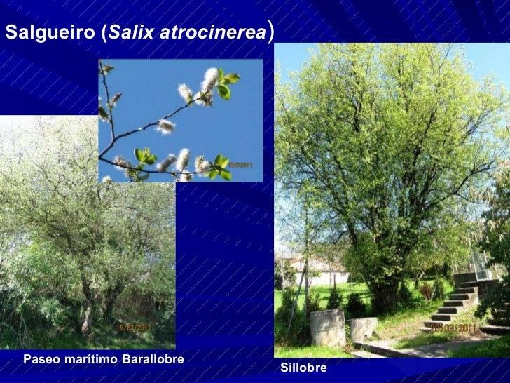 Salgueiro ( Salix atrocinerea ) Paseo marítimo Barallobre Sillobre