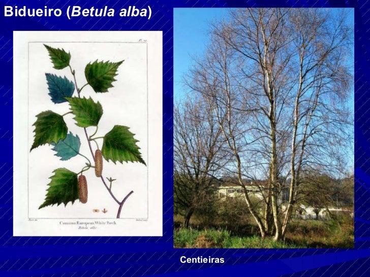 Bidueiro ( Betula alba ) Centieiras