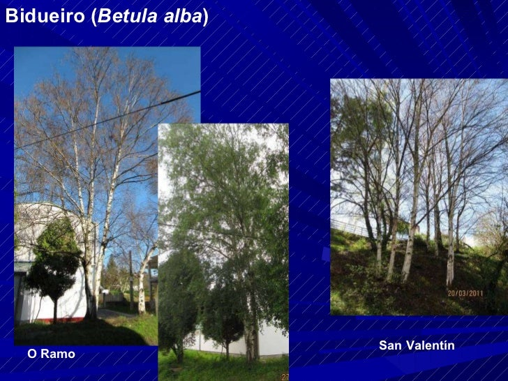 Bidueiro ( Betula alba ) O Ramo San Valentín