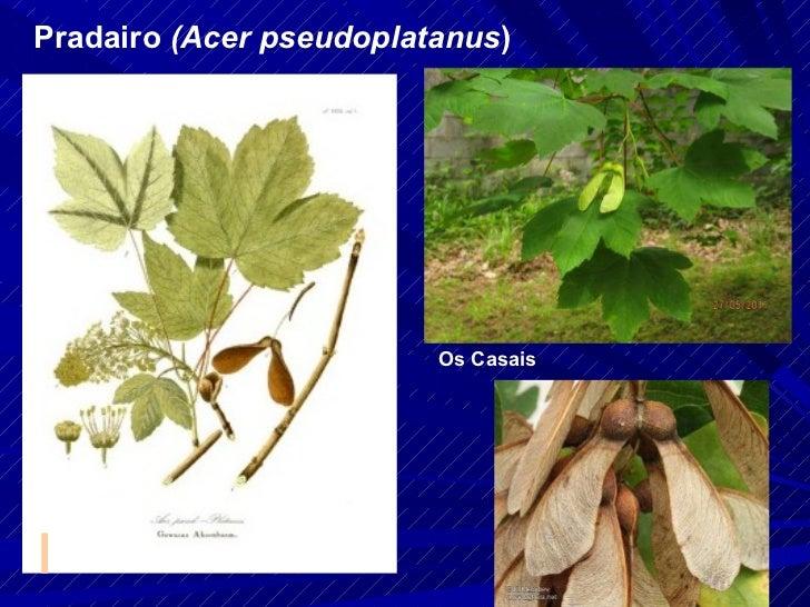 Pradairo  (Acer pseudoplatanus ) Os Casais