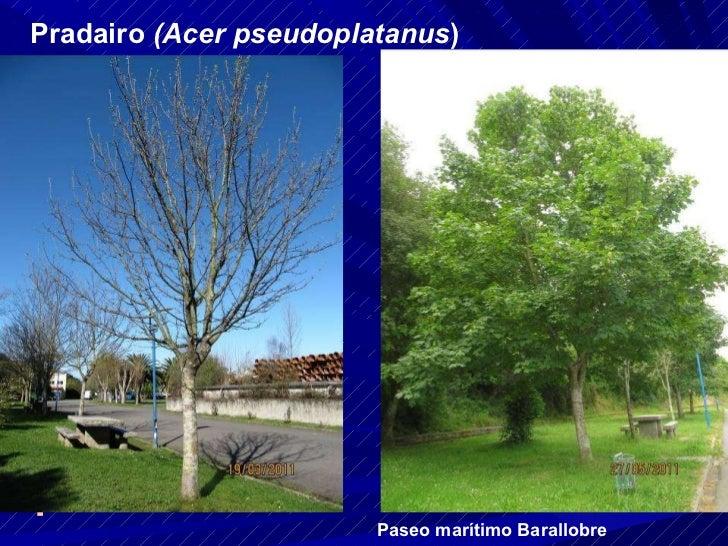 Pradairo  (Acer pseudoplatanus ) Paseo marítimo Barallobre