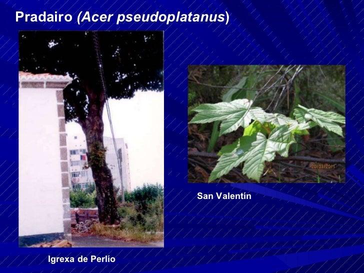Pradairo  (Acer pseudoplatanus ) Igrexa de Perlío San Valentín