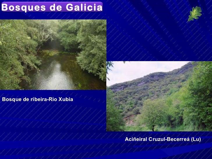 Aciñeiral Cruzul-Becerreá (Lu) Bosque de ribeira-Río Xubia  Bosques de Galicia