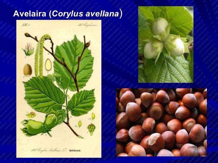 Avelaira ( Corylus avellana )