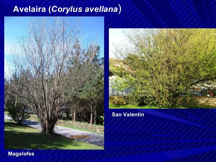 Avelaira ( Corylus avellana ) Magalofes San Valentín