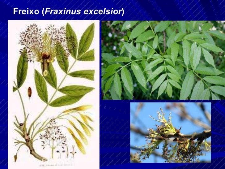 Freixo ( Fraxinus excelsior )