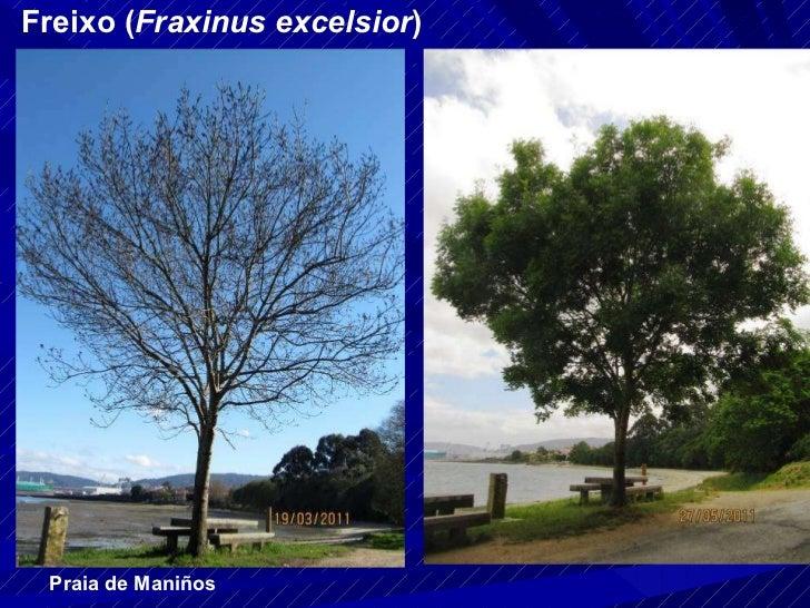 Freixo ( Fraxinus excelsior ) Praia de Maniños