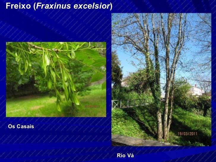 Freixo ( Fraxinus excelsior ) Río Vá Os Casais