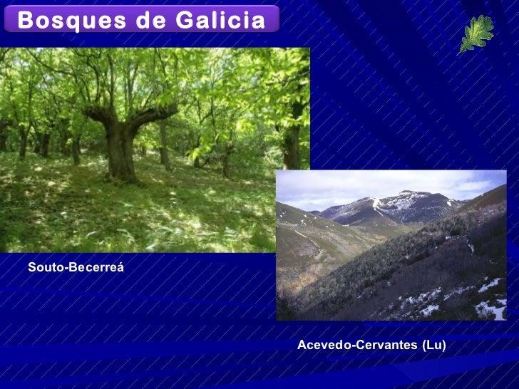 Souto-Becerreá Acevedo-Cervantes (Lu) Bosques de Galicia