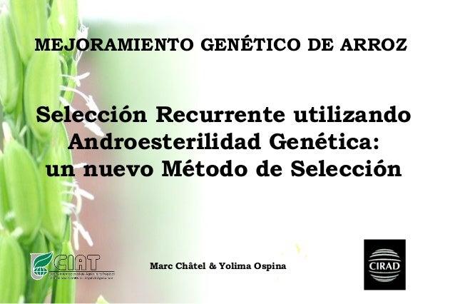 MEJORAMIENTO GENÉTICO DE ARROZ Marc Châtel & Yolima Ospina Selección Recurrente utilizando Androesterilidad Genética: un n...
