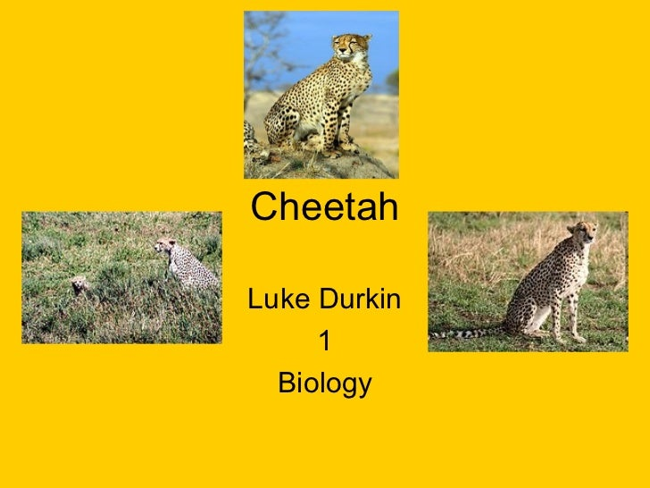 Cheetah Luke Durkin 1 Biology