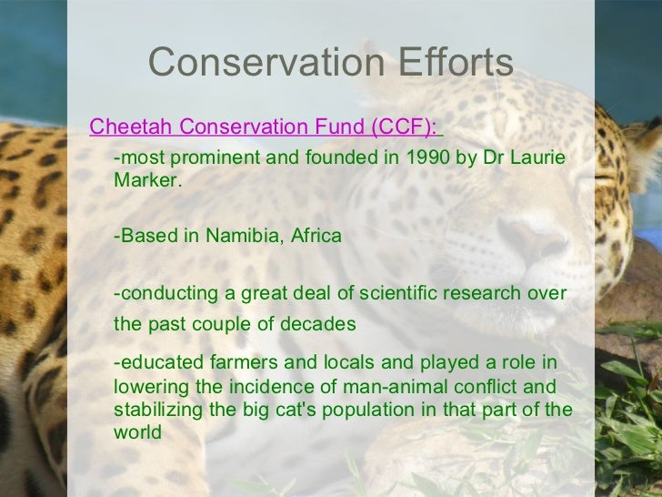 "genetic diversity and the cheetah by Further pressure on cheetah survival comes from their poor genetic diversity, which leaves them susceptible to disease and genetic abnormalities to reduce human- cheetah conflict and to increase the interaction between cheetah groups of diverse genetic backgrounds, we have proposed the development of ""cheetah safety corridors,"" which ."