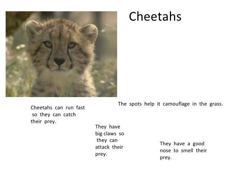 Cheetahs The  spots  help  it  camouflage  in  the  grass. Cheetahs  can  run  fast  so  they  can  catch  their  prey. Th...