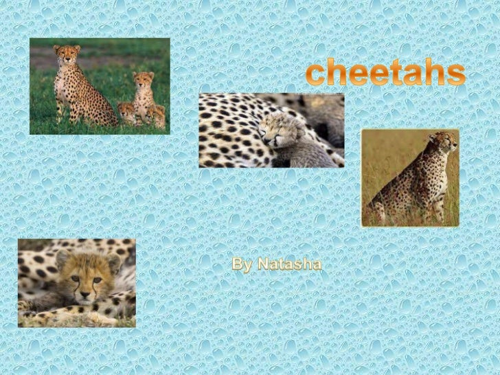 HOW FAST CAN CHEETAHS RUN   Cheetah are one of the faster animals on the    world. They run about 100 km per hour and    ...