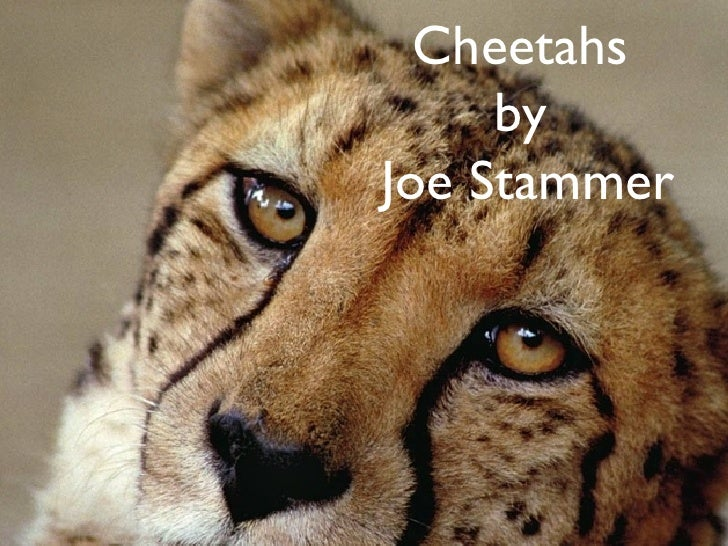 Cheetahs  by  Joe Stammer