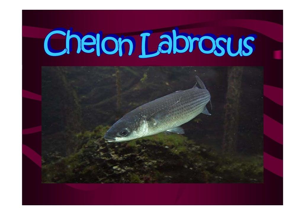 Clasificación  •   Clase: osteichthyes •   Subclase: actinopterygil •   Orden: perciformes •   Familia: mugilidae •   Gene...