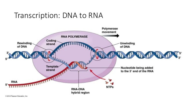 Chemical composition of dna