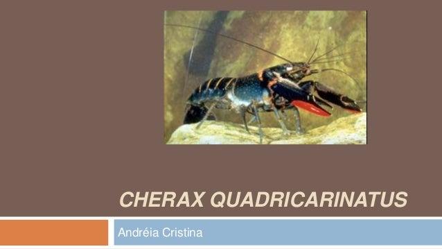 CHERAX QUADRICARINATUS Andréia Cristina