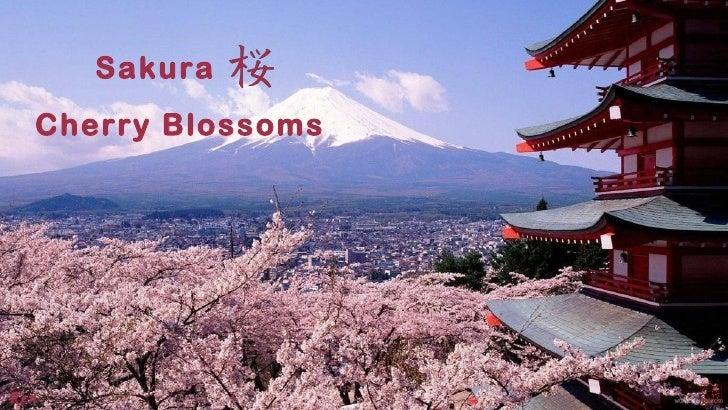 Sakura  Cherry BlossomsRen