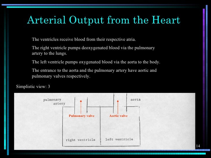 Arterial Output from the Heart        The ventricles receive blood from their respective atria.        The right ventricle...