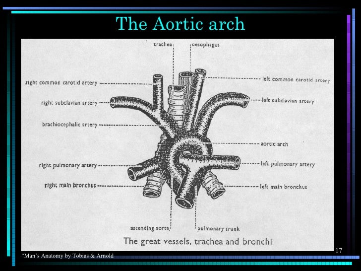 """The Aortic arch                                                      17""""Man's Anatomy by Tobias & Arnold"""