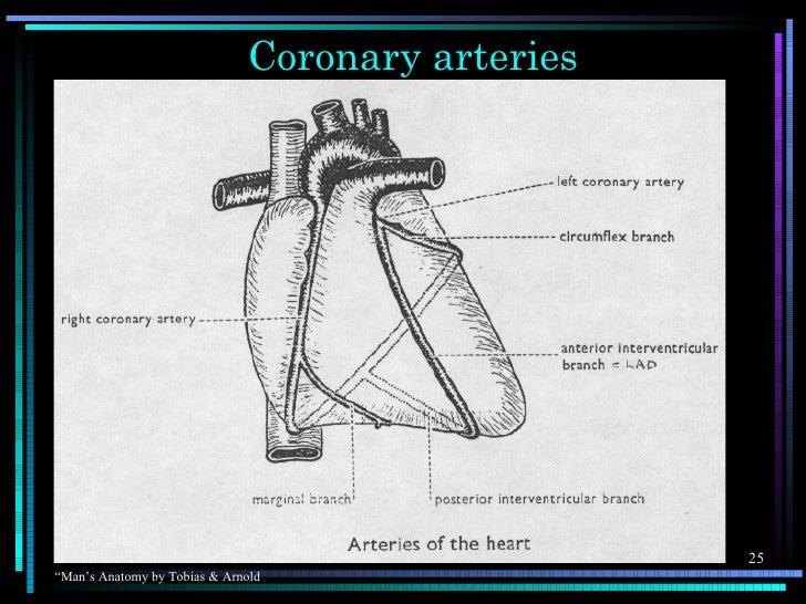 "Coronary arteries                                                  25""Man's Anatomy by Tobias & Arnold"