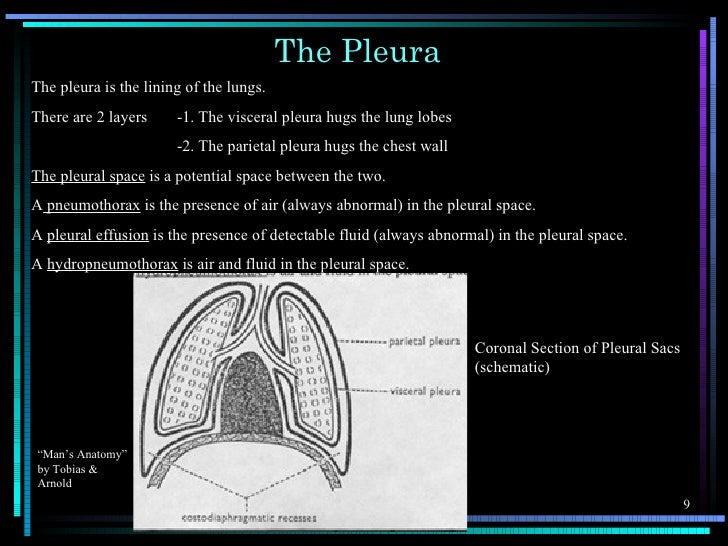 The PleuraThe pleura is the lining of the lungs.There are 2 layers     -1. The visceral pleura hugs the lung lobes        ...