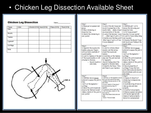 chicken leg dissection powerpoint muscular system skeletal system. Black Bedroom Furniture Sets. Home Design Ideas