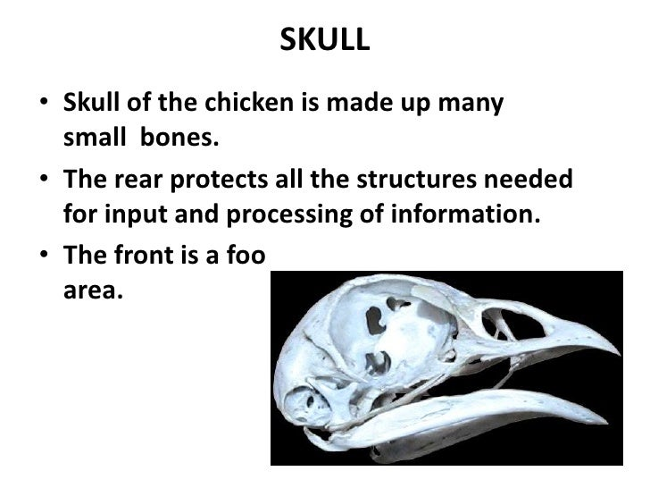 Chicken skull and sternum
