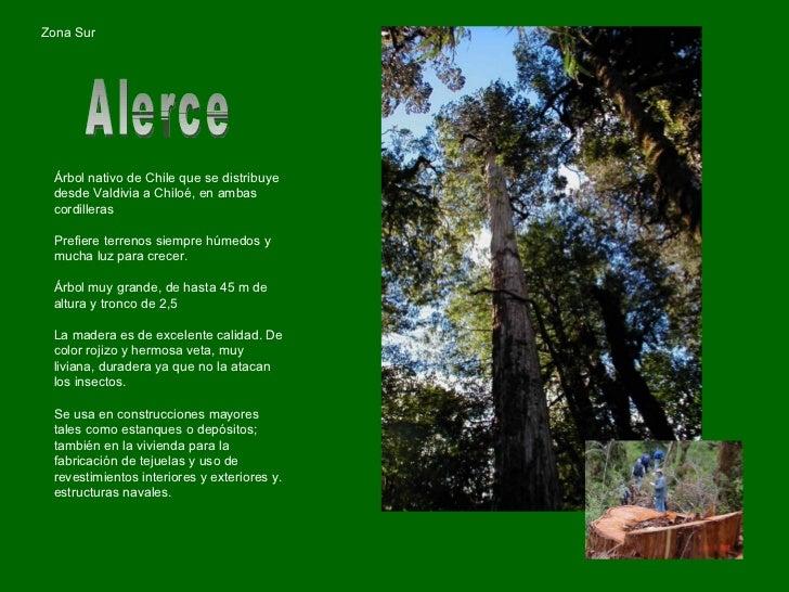 Chile arboles nativos for Poda de arboles zona sur