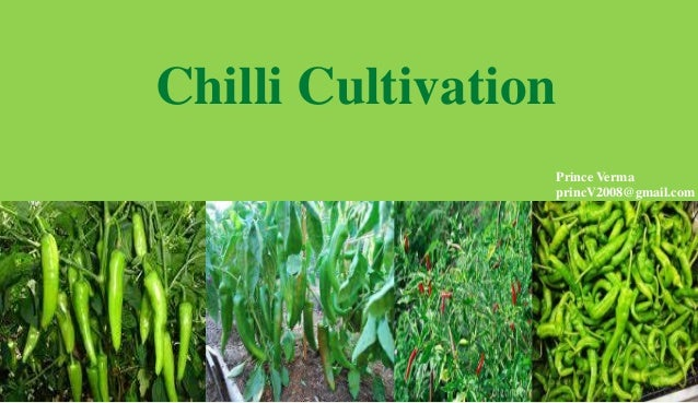 Chilli Cultivation Prince Verma princV2008@gmail.com