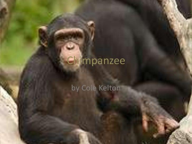 Chimpanzee<br />by Cole Kelton<br />