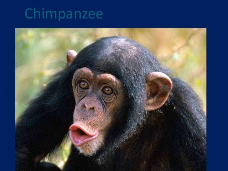 Chimpanzee<br />