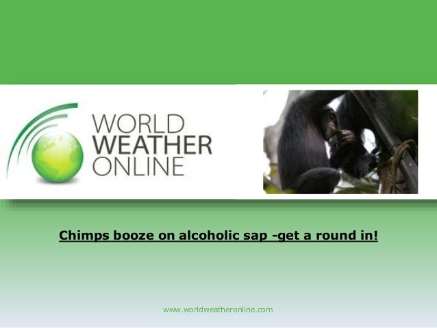 www.worldweatheronline.com Chimps booze on alcoholic sap -get a round in!