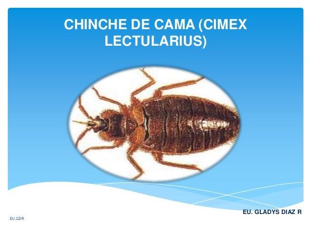 CHINCHE DE CAMA (CIMEX LECTULARIUS) EU. GLADYS DIAZ R EU.GDR