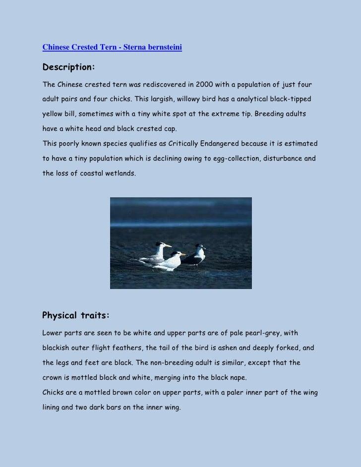 "HYPERLINK "" http://rareresources.blogspot.com/2010/07/chinese-crested-tern-sterna-bernsteini.html""  Chinese Crested Tern ..."