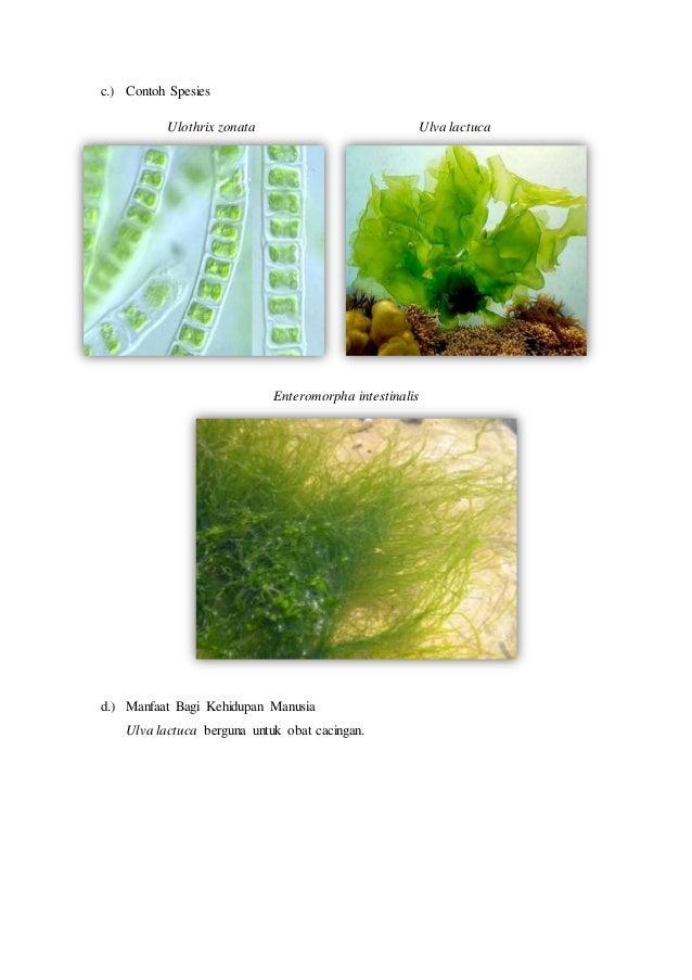 Ulva Slide Chlorophyta yan...