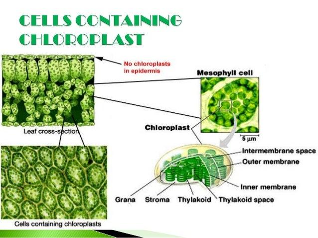chloroplast. Black Bedroom Furniture Sets. Home Design Ideas