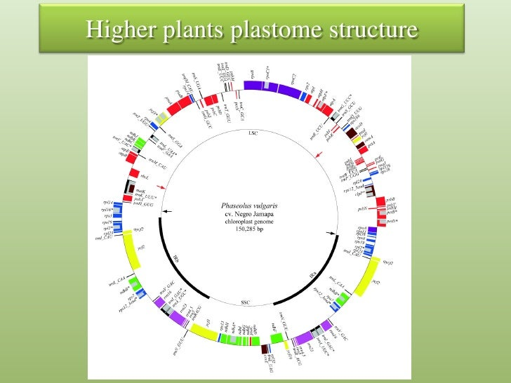 Chloroplast genome engineering ccuart Image collections
