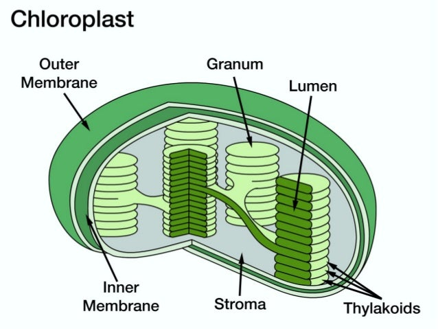 Chloroplasts And Chlorophyll For Advanced Biology 9th Grade