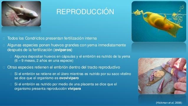 Chondrichthyes peces cartilagenosos for Reproduccion en peces