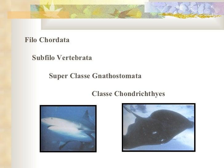Filo Chordata  Subfilo Vertebrata  Super Classe Gnathostomata  Classe Chondrichthyes