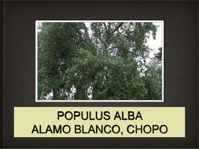 POPULUS ALBAALAMO BLANCO, CHOPO